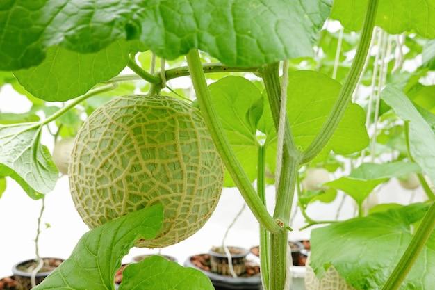 メロンまたはカンタロープフルーツは、農場で日本の植物を果物します。