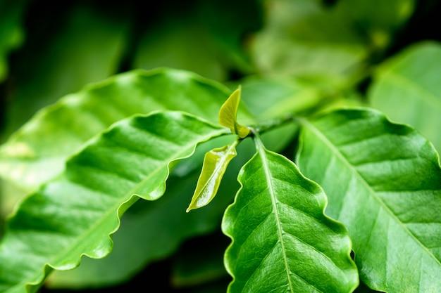 木のコーヒーの若い緑の葉。