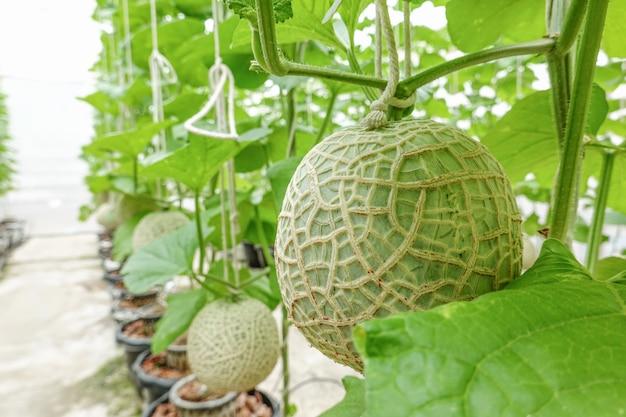メロンやカンタロープメロンフルーツ日本の植物栽培温室有機栽培ツリーガーデンファーム。
