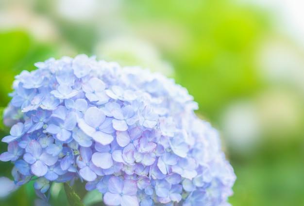庭と空間の概念のクローズアップ紫アジサイ