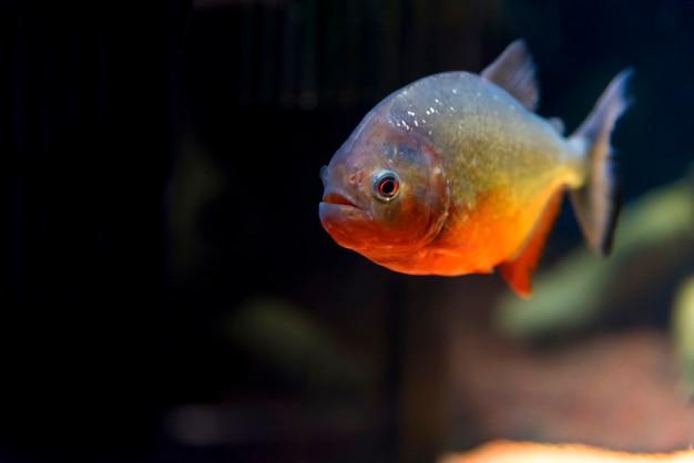 大阪の水族館で捕食魚のピラニア