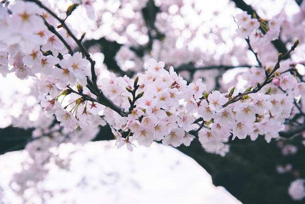 春に咲く桜の花の背景
