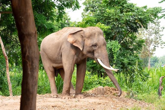 タイの象は、森の背後で地面に立っている美しいアイボリーを持っています