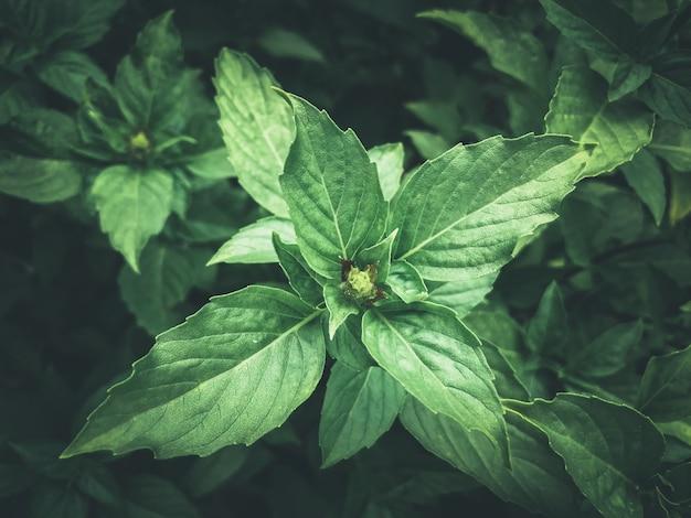 新鮮な有機バジルの葉