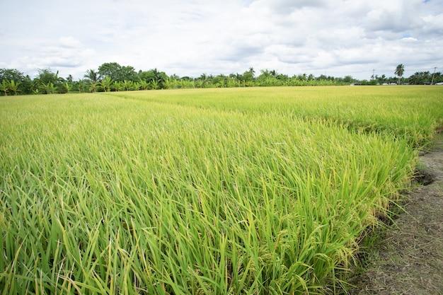 自然の中で生の米は農作物を飛ばしました。