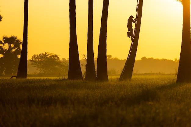 シルエットの写真。朝、人々はヤシの木に登っています。