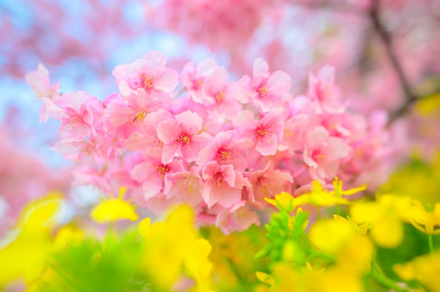 Красивый японский цветок сакуры