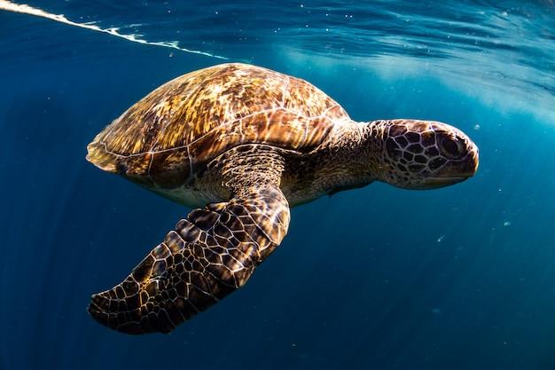 カメは青い海で泳ぐ