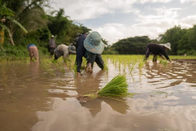 アジアの農民ライス、地面を蹴る