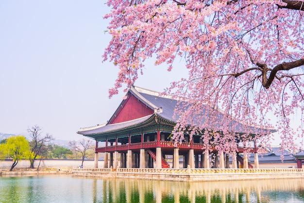 Вишневый цвет во дворце кёнбоккун. сеул, южная корея.