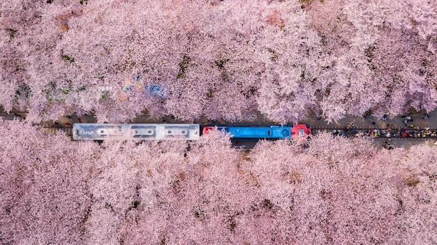 韓国の金海桜まつり。