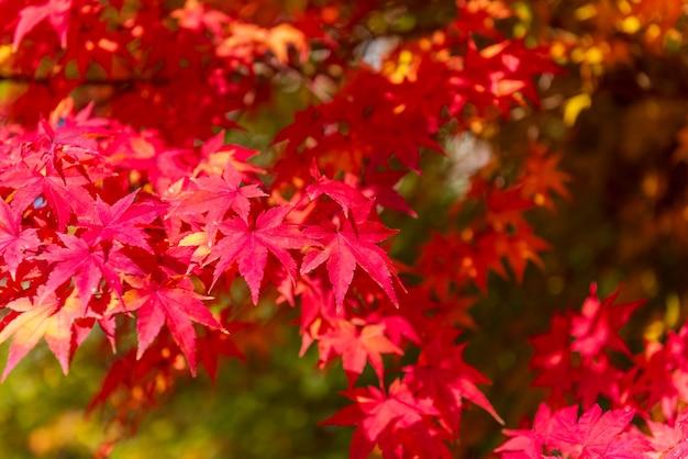 秋のメープルツリーの背景色