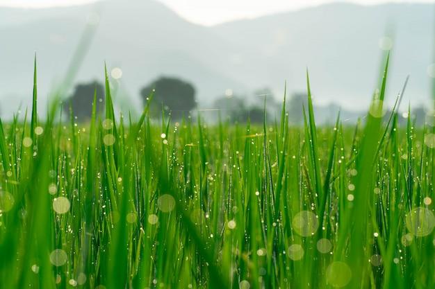 水滴からのボケ味を持つ朝の田んぼ。