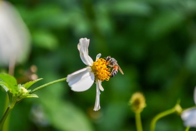 Пчела питается нектаром цветов