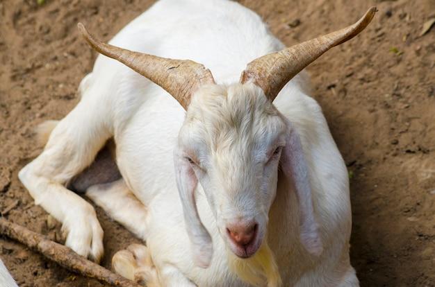 Белый козел сидит
