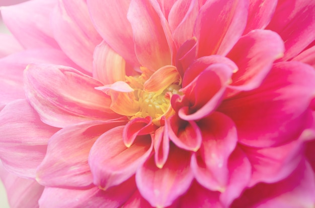 美しいぼやけたピンクの菊