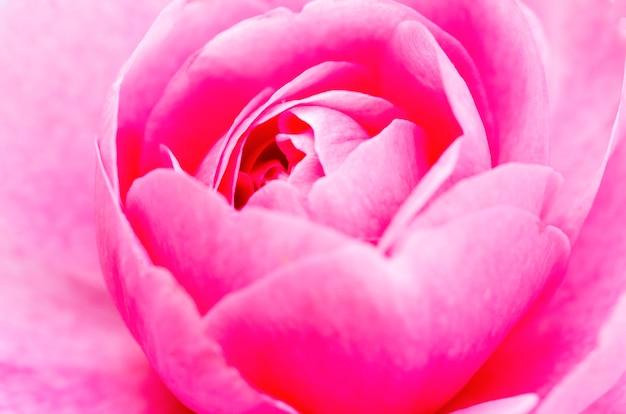 ピンクのバラは、ぼやけたパターン背景でぼやけています。