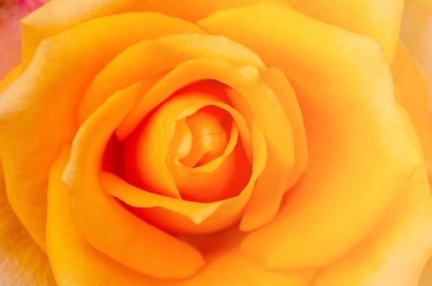 分離された白とぼやけて黄色いバラ
