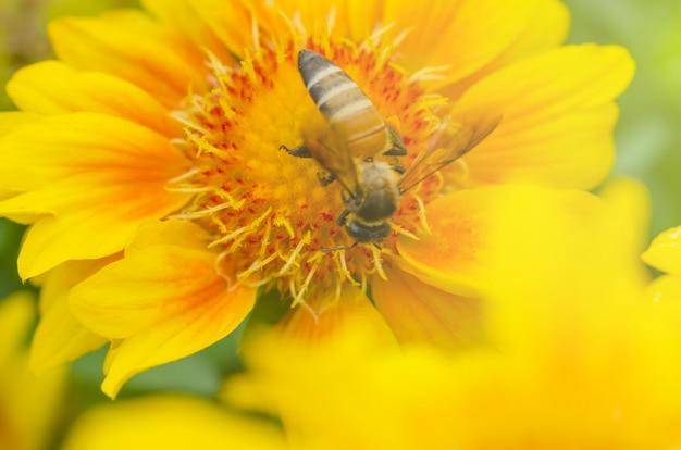 ミツバチは黄色い花とぼやけたパターンの背景から蜜を吸っています。