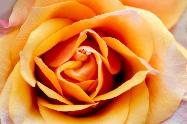 ぼやけているとぼやけているオレンジ色のバラ