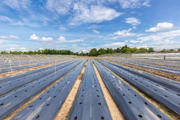 マルチンフイルムで覆われた野菜畑