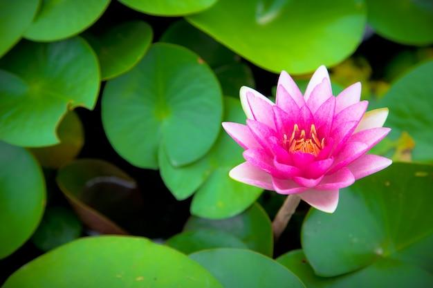 ピンクの蓮の花が咲く
