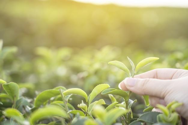 朝の有機緑茶を選ぶ女性の手の画像。