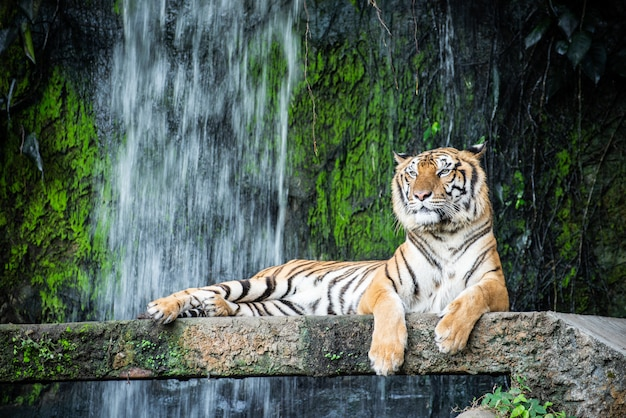 Тигр в зоопарке, лежащий на скале на фоне водопада
