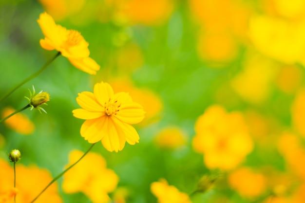 オレンジ色のスターバーストの花、フィールドの美しいコスモスの花