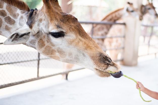 Маленький ребенок кормит жирафа длинным бобом в зоопарке