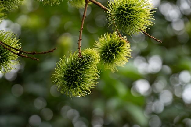 庭で新鮮なグリーンランブータン果実、タイのトロピカルフルーツ