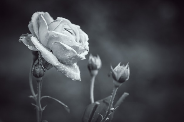 Лепесток розового цветка с черно-белым фильтром