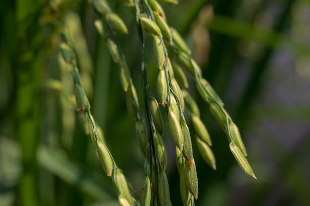 水田の水稲種子のクローズアップ