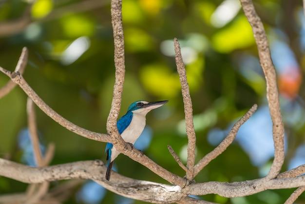 野生の自然の中で鳥(ホワイトカラーのカワセミ)