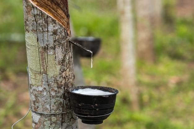Каучуковое дерево с каплей натурального каучука на плантации