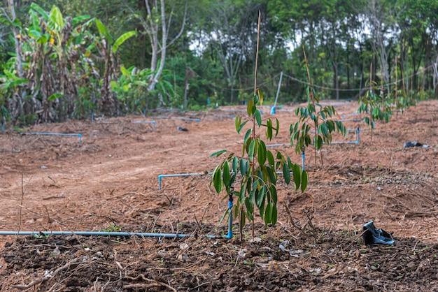 ドリアン苗または苗木ドリアンは、タイの果物の王です
