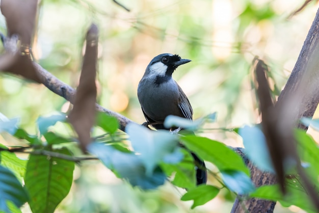 自然の中で鳥(黒いのど笑い)