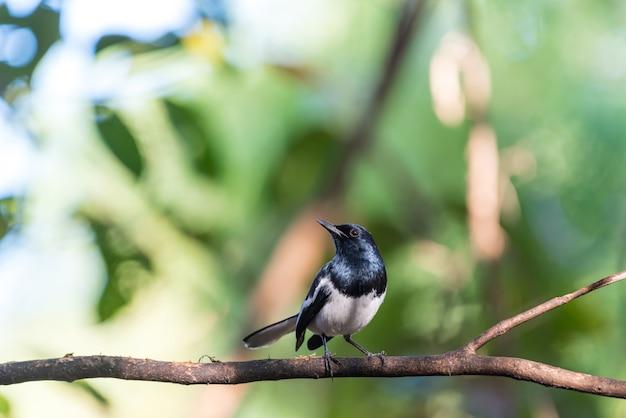 Птица (восточная сорока-робин) в дикой природе