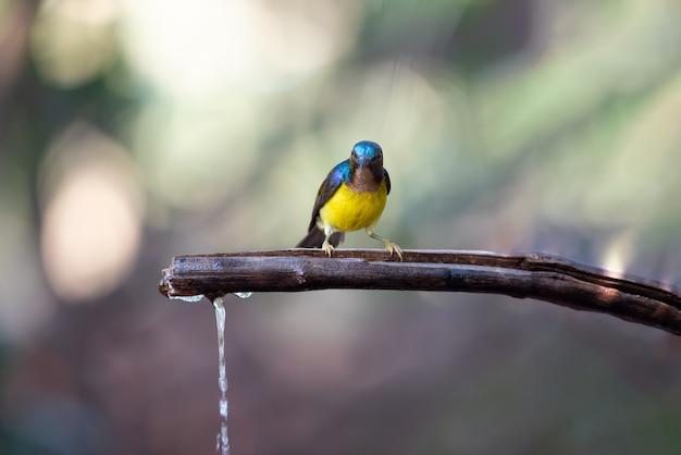 自然の中で鳥(ブラウンスロートサンバード)
