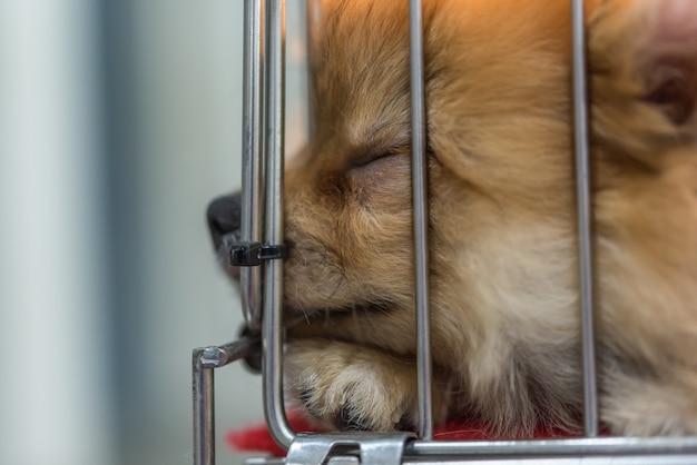 悲しみとケージの犬の子犬のポメラニアの品種