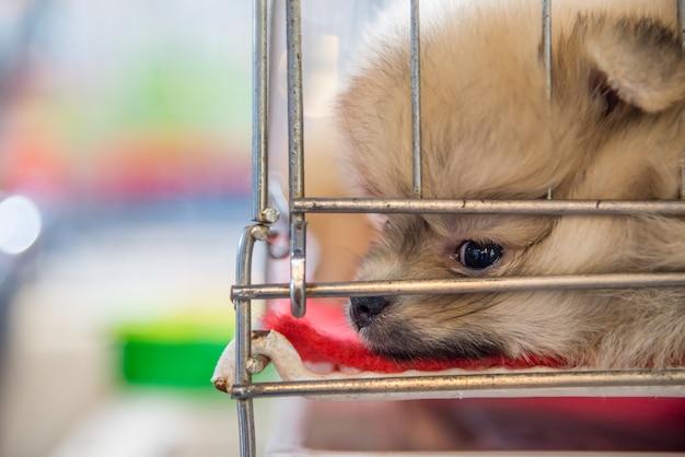 悲しみと孤独な目で檻の犬で一人で眠っているかわいい子犬のポメラニアンの品種