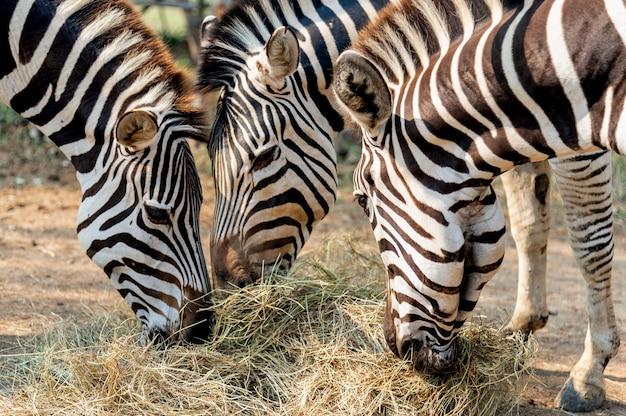 Крупным планом зебры едят траву