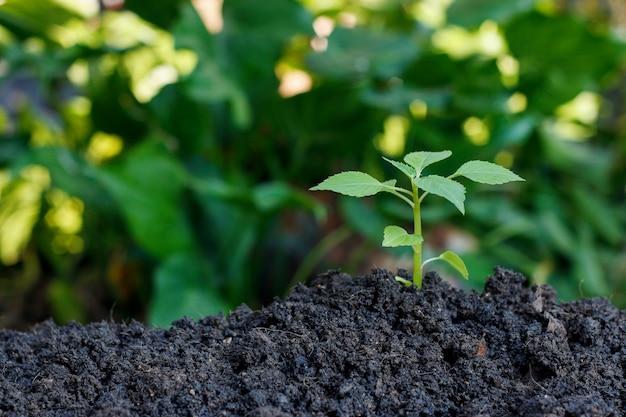 Зеленый росток растет из почвы