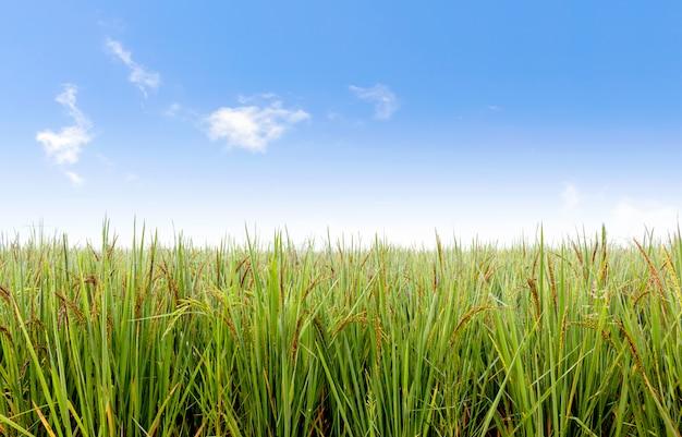 ライスベリー畑