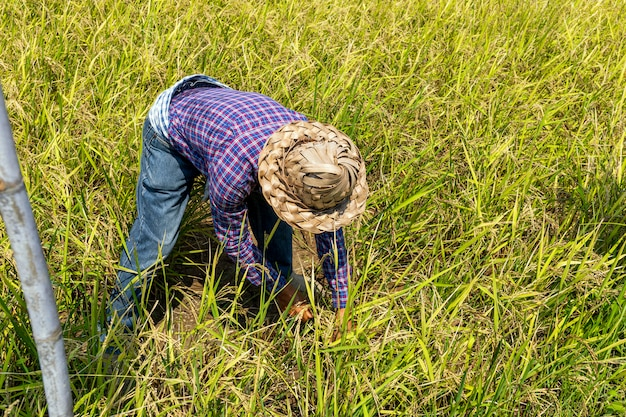農家の仕事。イネの苗が植える準備ができています