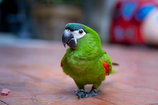 緑のハーンコンゴウインコの肩の散歩