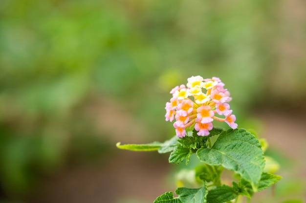 植物の花のピンクと黄色の色