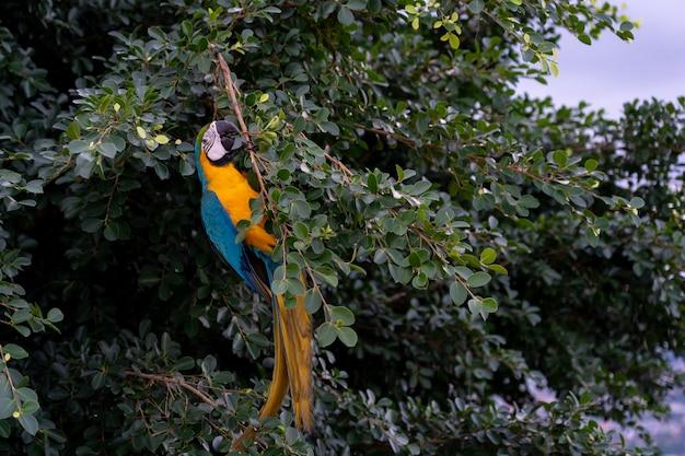 アフリカのコンゴウインコの飛行