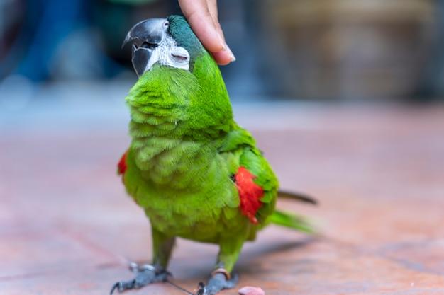 Зеленая ара, красное плечо, прикосновение руки