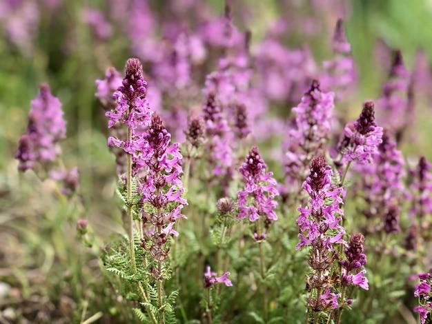 Фиолетовый розовый трава цветы цветут весной